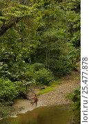 Купить «Huaorani indian with fishing spear, rainforest tribe, Napo Province, Ecuador.», фото № 25477878, снято 21 июля 2018 г. (c) Nature Picture Library / Фотобанк Лори