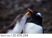 Купить «Gentoo penguin chick begging for food, Kerguelen Is, Sub-antarctic {Pygoscelis papua}», фото № 25478294, снято 23 мая 2019 г. (c) Nature Picture Library / Фотобанк Лори