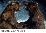 Купить «Grizzly bears fighting, Brooks river, Katmai NP, Alaska {Ursus arctos horribilis}», фото № 25478354, снято 3 апреля 2020 г. (c) Nature Picture Library / Фотобанк Лори