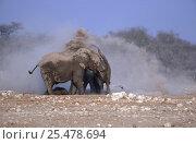 Купить «African elephants dust bathing (Loxodonta africana) Etosha NP, Namibia», фото № 25478694, снято 26 февраля 2020 г. (c) Nature Picture Library / Фотобанк Лори