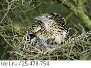 Купить «Roadrunner with chicks in nest {Geococcyx californianus} Texas, USA», фото № 25478754, снято 21 августа 2018 г. (c) Nature Picture Library / Фотобанк Лори
