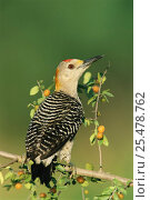 Купить «Golden fronted woodpecker, male {Melanerpes aurifrons} Texas, USA», фото № 25478762, снято 19 августа 2018 г. (c) Nature Picture Library / Фотобанк Лори