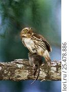 Ferruginous pygmy owl with mouse prey {Glaucidium brasilianum} Texas, USA. Стоковое фото, фотограф Rolf Nussbaumer / Nature Picture Library / Фотобанк Лори