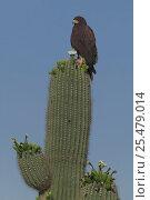 Harris hawk + nest on Saguaro cactus {Parabuteo unicinctus} Sonoran... Стоковое фото, фотограф John Cancalosi / Nature Picture Library / Фотобанк Лори