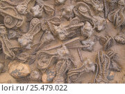 Купить «Fossil crinoids {Jimbacrinus bostocki} permian period Australia», фото № 25479022, снято 15 декабря 2017 г. (c) Nature Picture Library / Фотобанк Лори