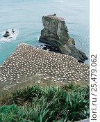 Купить «Australian gannet nesting colony {Morus / Sula serrator}. Muriwai, North Island, New Zealand.», фото № 25479062, снято 26 марта 2019 г. (c) Nature Picture Library / Фотобанк Лори