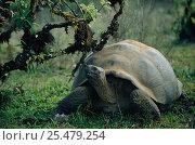 Купить «Giant tortoise {Geochelone elephantopus} Galapagos.», фото № 25479254, снято 16 февраля 2019 г. (c) Nature Picture Library / Фотобанк Лори