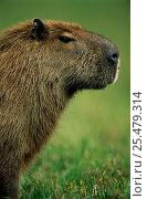 Capybara portrait {Hydrochoerus hydrochaeris} Pantanal, Brazil. Стоковое фото, фотограф Staffan Widstrand / Nature Picture Library / Фотобанк Лори
