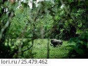 Western lowland gorilla male feeding {G g gorilla} Lokoue bai, Odzala NP, Rep of Congo. Стоковое фото, фотограф Jabruson / Nature Picture Library / Фотобанк Лори
