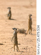 Купить «Suricates / Meerkats looking out in all directions Kalahari Gemsbok S Africa», фото № 25479534, снято 5 августа 2020 г. (c) Nature Picture Library / Фотобанк Лори