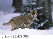 European grey wolves {Canis lupus} in snow, Bayerischer wald NP, Germany, captive. Стоковое фото, фотограф Eric Baccega / Nature Picture Library / Фотобанк Лори