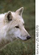 Купить «Arctic grey wolf {Canis lupus} Bayerisher wald NP, Germany, captive», фото № 25480070, снято 20 февраля 2020 г. (c) Nature Picture Library / Фотобанк Лори