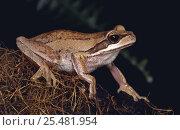 Купить «Female Brown tree frog {Litoria ewingii} Victoria, Australia», фото № 25481954, снято 6 августа 2020 г. (c) Nature Picture Library / Фотобанк Лори