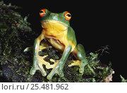 Купить «Red eyed tree frog {Litoria chloris} Queensland, Australia», фото № 25481962, снято 6 августа 2020 г. (c) Nature Picture Library / Фотобанк Лори