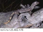 Northern spiny tailed gecko {Diplodactylus / Strophurus ciliaris ciliaris} NT, Australia. Стоковое фото, фотограф Robert Valentic / Nature Picture Library / Фотобанк Лори