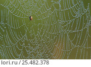 Купить «Spider on dew covered web. Belgium», фото № 25482378, снято 26 сентября 2018 г. (c) Nature Picture Library / Фотобанк Лори
