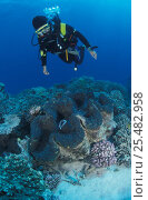 Купить «Diver + Giant clam in coral reef {Tridacna gigas} Great Barrier Reef, Australia», фото № 25482958, снято 15 декабря 2017 г. (c) Nature Picture Library / Фотобанк Лори