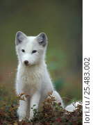 Купить «Arctic fox cub portrait {Vulpes lagopus} captive, Norway», фото № 25483002, снято 3 апреля 2020 г. (c) Nature Picture Library / Фотобанк Лори