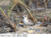 Купить «Red capped plover at nest with eggs {Charadrius ruficapillus} Tasmania,», фото № 25483982, снято 21 ноября 2019 г. (c) Nature Picture Library / Фотобанк Лори