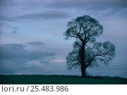 Купить «English elm tree silhouette in winter {Ulmus procera} UK», фото № 25483986, снято 15 августа 2018 г. (c) Nature Picture Library / Фотобанк Лори