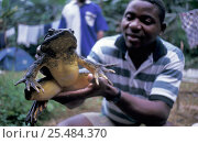 Купить «Man holding enormous Goliath frog  {Conraua goliath} Equatorial Guinea», фото № 25484370, снято 16 августа 2018 г. (c) Nature Picture Library / Фотобанк Лори
