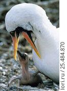 Купить «Masked booby feeding chick {Sula dactylatra melanops} Galapagos-Islands», фото № 25484870, снято 26 июня 2019 г. (c) Nature Picture Library / Фотобанк Лори
