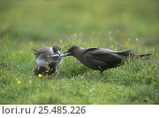 Arctic skua {Sterocorarius parasiticus} pair bringing fish to feed chick, Orkney, Scotland UK. Стоковое фото, фотограф Solvin Zankl / Nature Picture Library / Фотобанк Лори