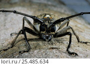 Longhorn beetle portrait {Cerambycidae} Sulawesi, Indonesia. Стоковое фото, фотограф Solvin Zankl / Nature Picture Library / Фотобанк Лори