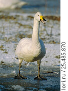 Купить «Whooper swan wintering in UK {Cygnus cygnus}», фото № 25485870, снято 15 июля 2018 г. (c) Nature Picture Library / Фотобанк Лори