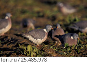Купить «Wood pigeons feeding in sugar beet field {Columba palumbus} Norfolk, UK», фото № 25485978, снято 12 декабря 2017 г. (c) Nature Picture Library / Фотобанк Лори