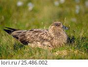 Great skua {Catharacta skua} UK. Стоковое фото, фотограф John Cancalosi / Nature Picture Library / Фотобанк Лори