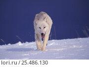 Купить «Arctic wolf in snow {Canis lupis arctos} captive US.», фото № 25486130, снято 24 марта 2019 г. (c) Nature Picture Library / Фотобанк Лори