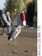 Man watching Grey heron {Ardea cinerea} Regents Park, London, UK. Стоковое фото, фотограф Georgette Douwma / Nature Picture Library / Фотобанк Лори