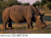 Купить «White rhino {Ceratotherium simum} Okavango delta - first rhino reintroduced to Botswana», фото № 25487014, снято 24 марта 2019 г. (c) Nature Picture Library / Фотобанк Лори
