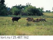 Купить «Five male African lions {Panthera leo} hunting Buffalo, Okavango delta, Botswana», фото № 25487162, снято 18 апреля 2019 г. (c) Nature Picture Library / Фотобанк Лори
