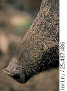 Close up of nose of Wild boar {Sus scrofa} Siberia, Russia. Стоковое фото, фотограф Eric Baccega / Nature Picture Library / Фотобанк Лори