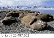 Купить «Walruses hauled out {Odobenus rosmarus} Svalbard, Spitzbergen, Norway», фото № 25487662, снято 18 ноября 2018 г. (c) Nature Picture Library / Фотобанк Лори
