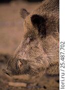 Wild boar portrait {Sus scrofa} Siberia, Russia. Стоковое фото, фотограф Eric Baccega / Nature Picture Library / Фотобанк Лори