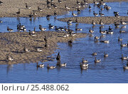 Купить «Dark bellied brent geese {Branta b bernicla} drinking + bathing in creek, Norfolk, UK», фото № 25488062, снято 7 апреля 2020 г. (c) Nature Picture Library / Фотобанк Лори