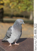 Feral pigeon (rock dove) {Columba livia} Regents Park, London, UK. Стоковое фото, фотограф Georgette Douwma / Nature Picture Library / Фотобанк Лори