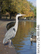 Grey heron {Ardea cinerea} standing by lake in Regents Park, London, UK. Стоковое фото, фотограф Georgette Douwma / Nature Picture Library / Фотобанк Лори