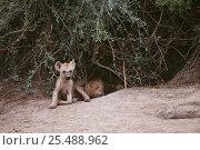 Купить «Spotted hyaena cubs at den {Crocuta crocuta} Okavango Delta, Botswana», фото № 25488962, снято 24 июня 2019 г. (c) Nature Picture Library / Фотобанк Лори