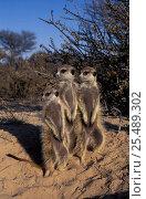 Купить «Three Suricates / Meerkats standing on guard {Suricata suricata} Kalahari, South Africa», фото № 25489302, снято 5 августа 2020 г. (c) Nature Picture Library / Фотобанк Лори