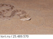 Horned viper on sand {Cerastes c gasperatii} United Arab Emirates. Стоковое фото, фотограф David Shale / Nature Picture Library / Фотобанк Лори