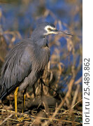 Купить «White faced heron {Egretta novaehollandiae} Queensland, Australia», фото № 25489862, снято 17 июля 2018 г. (c) Nature Picture Library / Фотобанк Лори