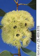 Купить «Coarse leaved gum tree {Eucalyptus grossa} flower Queensland, Australia», фото № 25489878, снято 25 апреля 2018 г. (c) Nature Picture Library / Фотобанк Лори