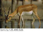 Blackbuck young male drinking {Antilope cervicapra} Thar desert, Rajasthan, India. Стоковое фото, фотограф Bernard Castelein / Nature Picture Library / Фотобанк Лори
