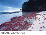 Christmas island red crab adults entering sea to replenish body salts and moisture before reproduction {Gecarcoidea natalis} Christmas island, Pacific. Стоковое фото, фотограф Jurgen Freund / Nature Picture Library / Фотобанк Лори
