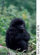Купить «Mountain gorilla juvenile resting {Gorilla g beringei} Virunga NP, Rwanda group», фото № 25491874, снято 17 ноября 2019 г. (c) Nature Picture Library / Фотобанк Лори