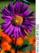 Купить «Callistephus chinensis flower, Sweden», фото № 25491922, снято 15 августа 2018 г. (c) Nature Picture Library / Фотобанк Лори